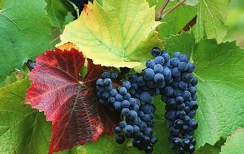 马陆葡萄种植园