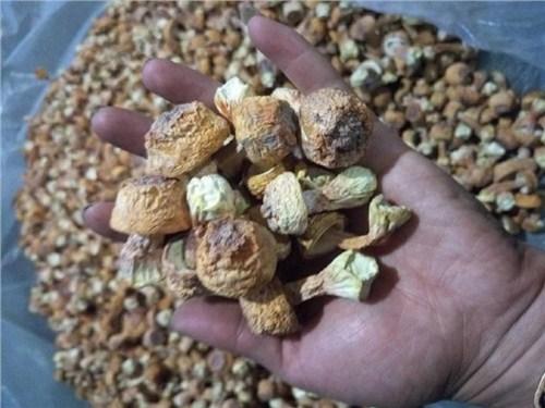 云南巴西菇种植