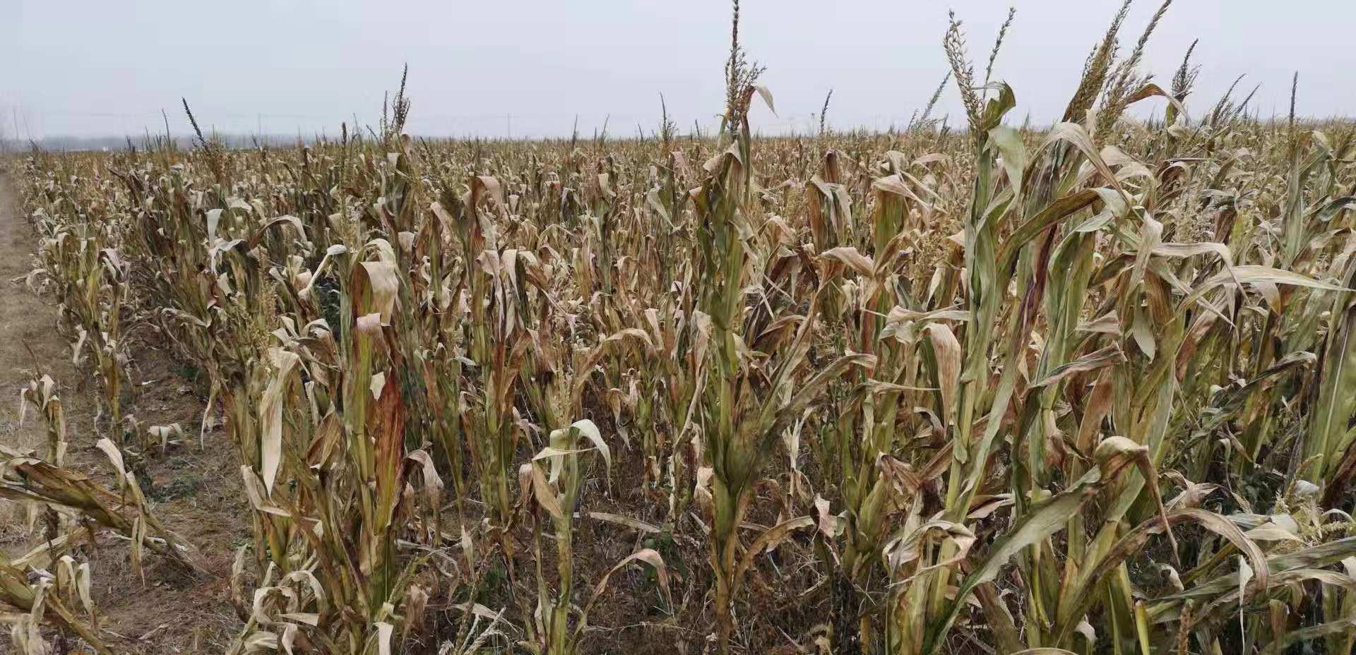 常州玉米秸秆的用途和特点,玉米秸秆