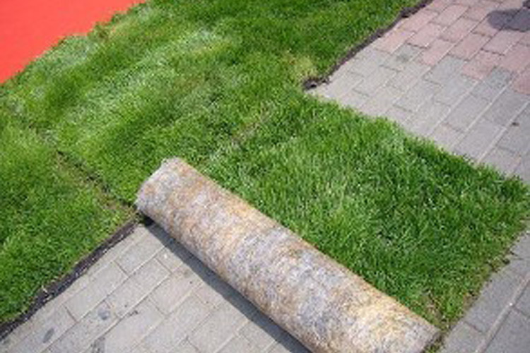 甘孜马尼拉草坪销售价格 诚信为本「永利供应」