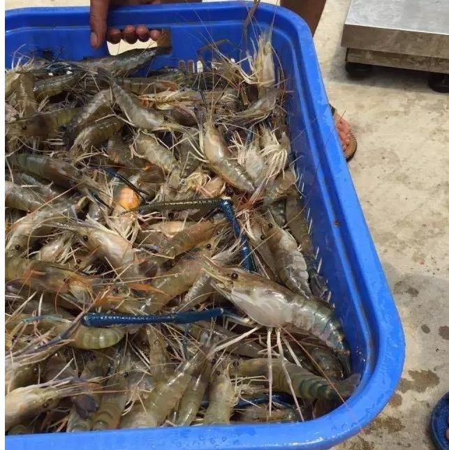 兴化河虾河塘,河虾