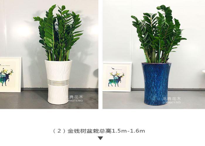 坪山区优良金钱树 抱诚守真「深圳市绿园轩园林花卉供应」