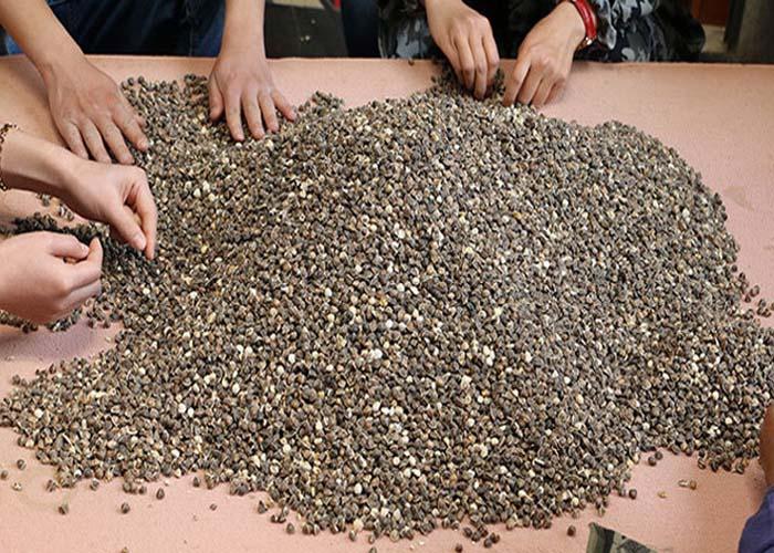 北京印度辣木籽,辣木籽