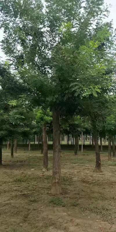 云南国槐价格优惠 济宁市任城区禾盛苗木种植供应