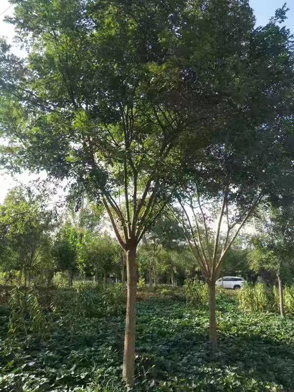 青海4公分国槐 济宁市任城区禾盛苗木种植供应