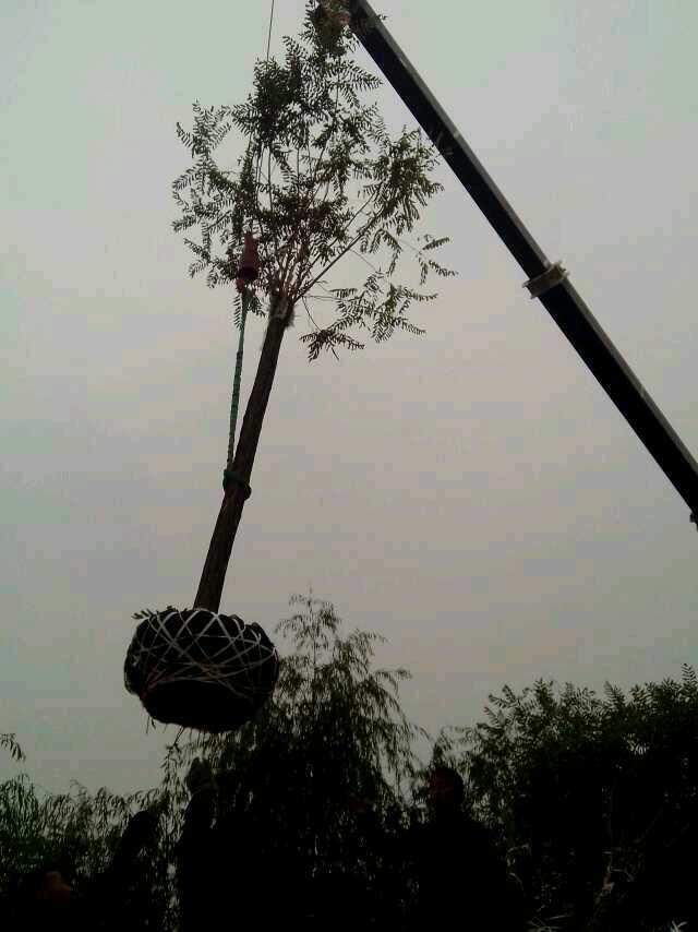 天津香花槐基地直销 济宁市任城区禾盛苗木种植供应
