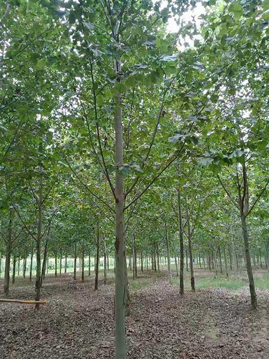 青海16公分法桐 濟寧市任城區禾盛苗木種植供應