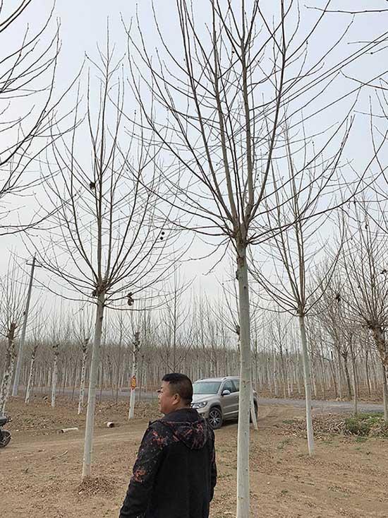 新疆9公分法桐 济宁市任城区禾盛苗木种植供应