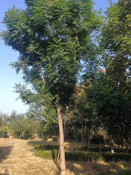 宁夏16公分北栾 济宁市任城区禾盛苗木种植供应