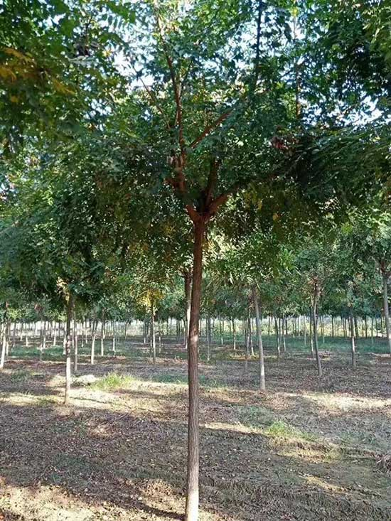 云南北京栾树绿化用树 济宁市任城区禾盛苗木种植供应