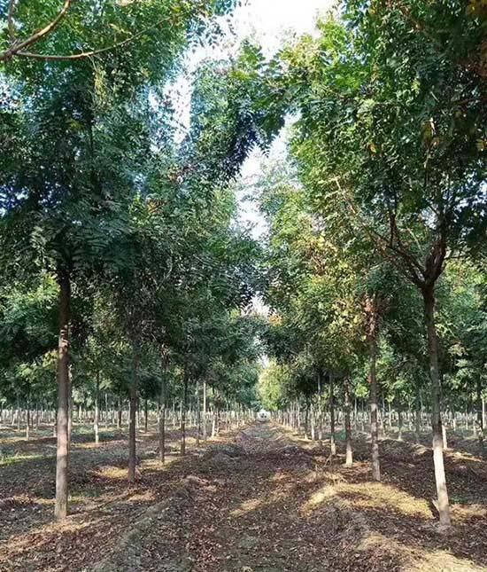 云南北京栾树苗木 济宁市任城区禾盛苗木种植供应