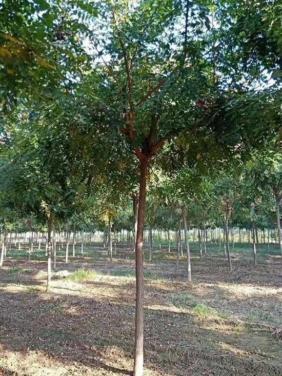 陕西5公分北京栾 济宁市任城区禾盛苗木种植供应