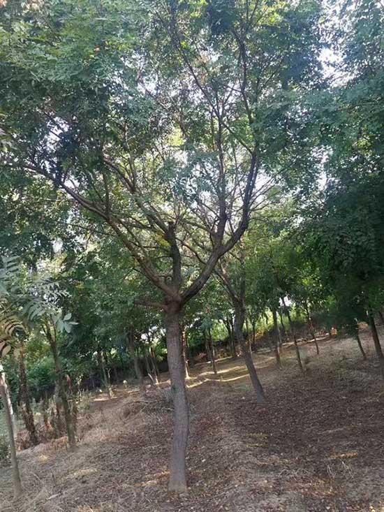 云南北京栾树苗 济宁市任城区禾盛苗木种植供应