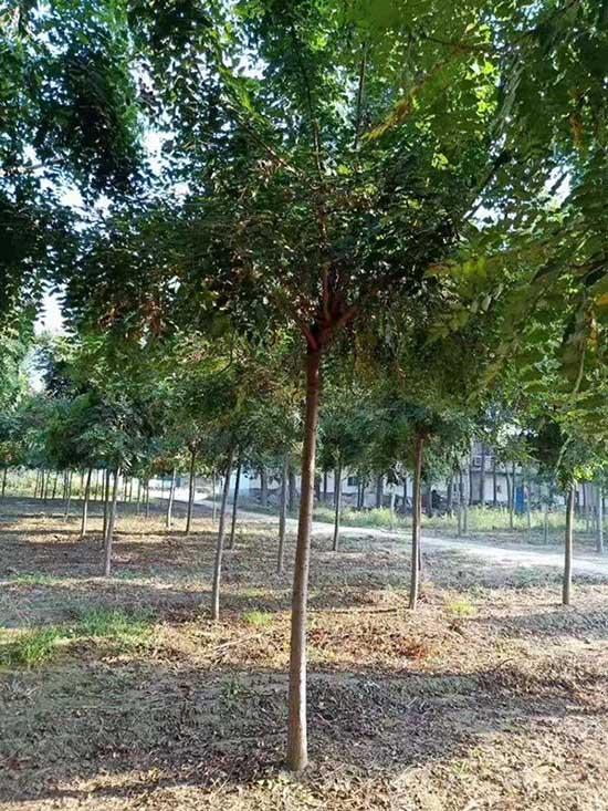 广东北京栾树苗 济宁市任城区禾盛苗木种植供应