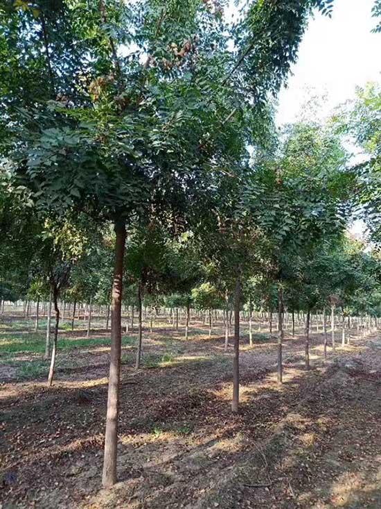 甘肃6公分北京栾 济宁市任城区禾盛苗木种植供应