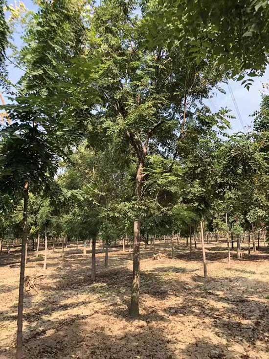 云南北京栾绿化用树 济宁市任城区禾盛苗木种植供应