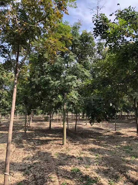新疆4公分北京栾 济宁市任城区禾盛苗木种植供应