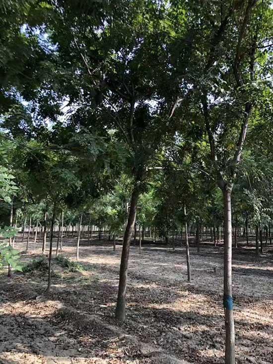 济宁北京栾基地 济宁市任城区禾盛苗木种植供应