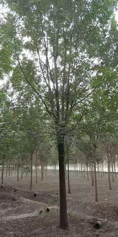 四川白蜡苗木 济宁市任城区禾盛苗木种植供应