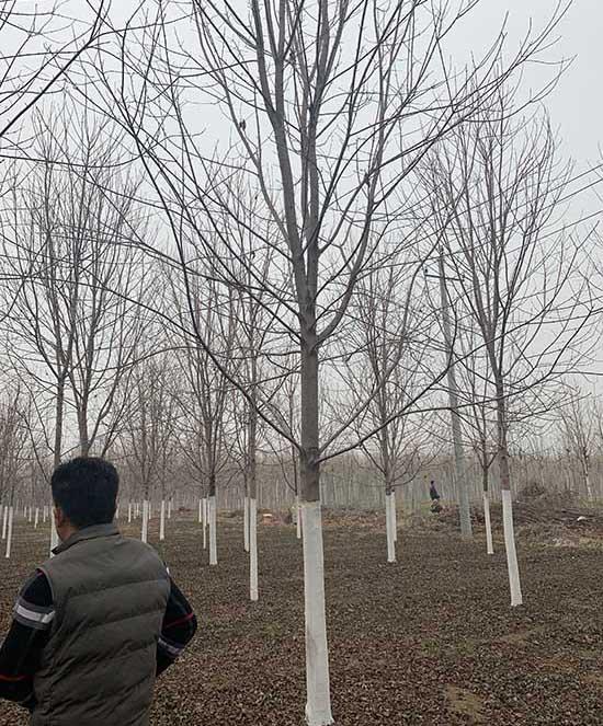 山西2公分美國紅楓 濟寧市任城區禾盛苗木種植供應