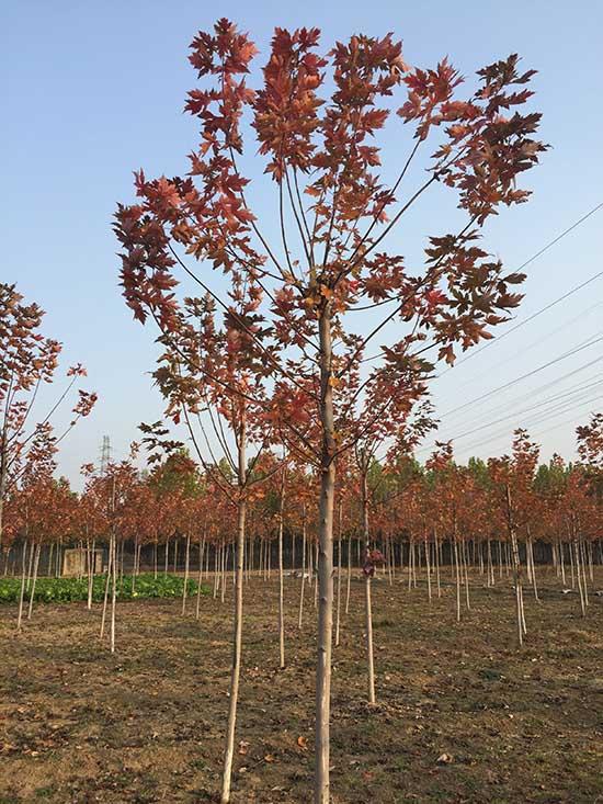 海南银红槭多少钱 济宁市任城区禾盛苗木种植供应