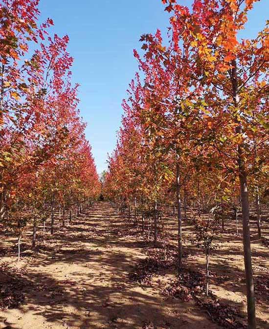 安徽银红槭诚信经营 济宁市任城区禾盛苗木种植供应