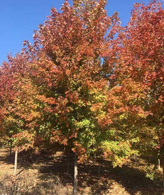 3公分银红槭批发 济宁市任城区禾盛苗木种植供应