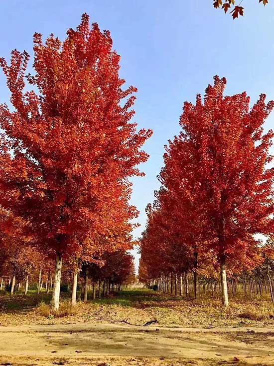 山西银红槭小苗价格 济宁市任城区禾盛苗木种植供应