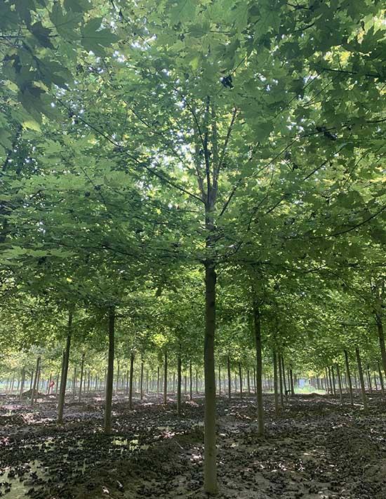 安徽银红槭推荐商家 济宁市任城区禾盛苗木种植供应