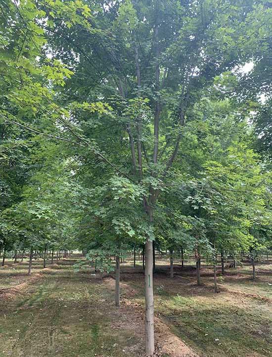 湖北银红槭哪家便宜 济宁市任城区禾盛苗木种植供应