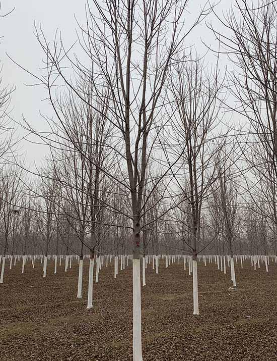 天津精品银红槭 济宁市任城区禾盛苗木种植供应