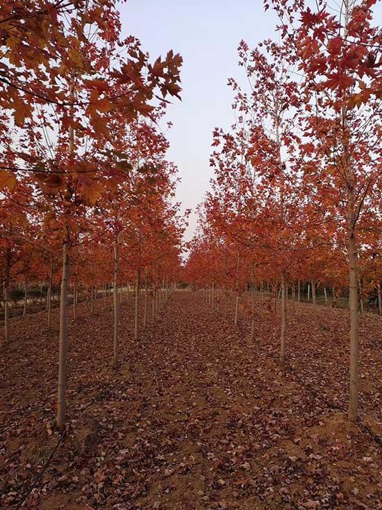 云南1公分银红槭 济宁市任城区禾盛苗木种植供应