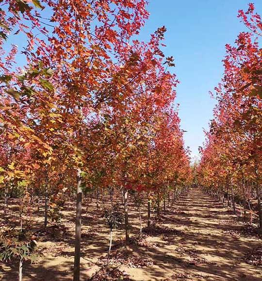 广东求购银红槭 济宁市任城区禾盛苗木种植供应