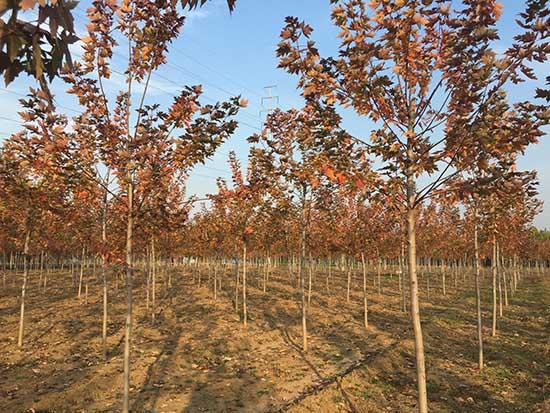 云南小规格北美红枫 济宁市任城区禾盛苗木种植供应