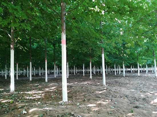 北京丛生北美红枫 济宁市任城区禾盛苗木种植供应