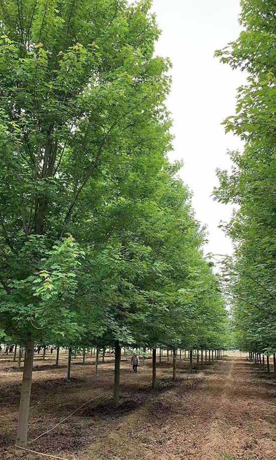 云南北美红枫 批发 济宁市任城区禾盛苗木种植供应