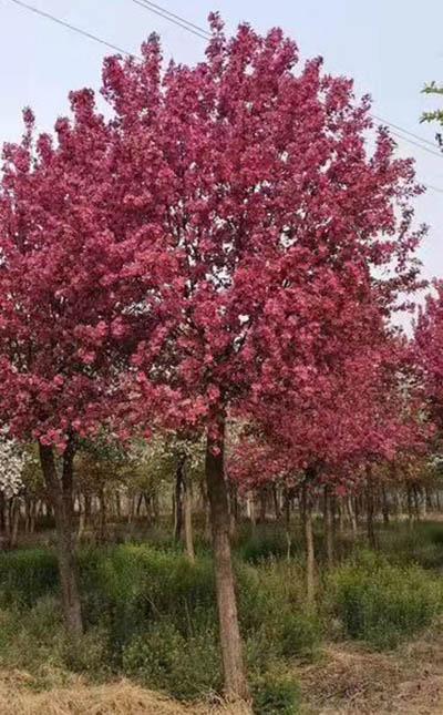 上海5公分北美海棠「济宁市任城区禾盛苗木种植供应」