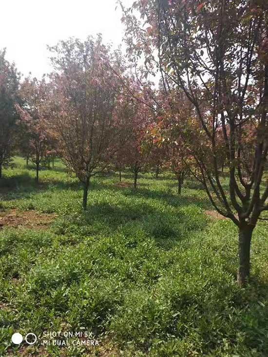 福建4公分北美海棠 濟寧市任城區禾盛苗木種植供應