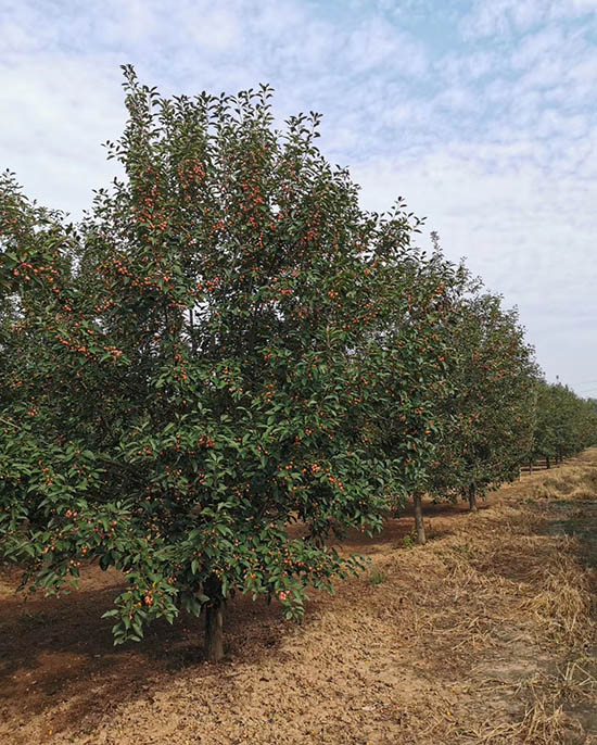 浙江1公分北美海棠 济宁市任城区禾盛苗木种植供应