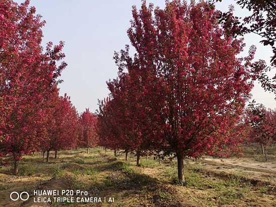 四川20公分亚当海棠 济宁市任城区禾盛苗木种植供应