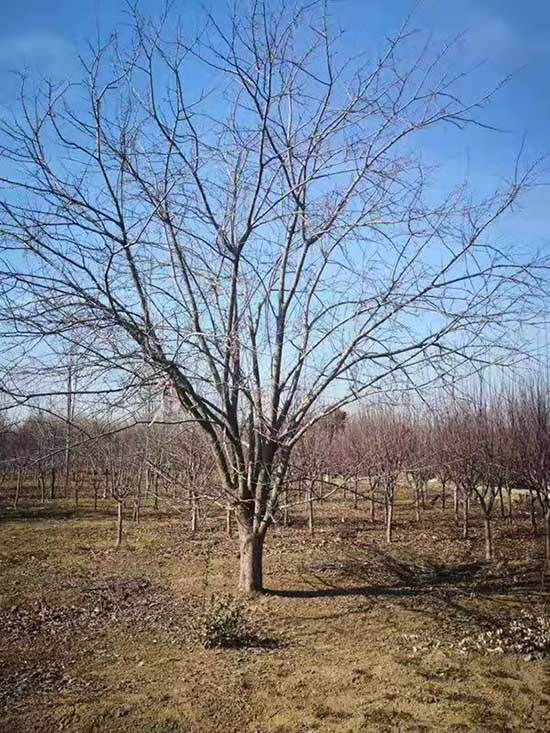 海南亚当海棠价格优惠 济宁市任城区禾盛苗木种植供应