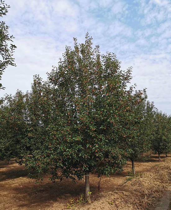 貴州6公分亞當海棠 濟寧市任城區禾盛苗木種植供應
