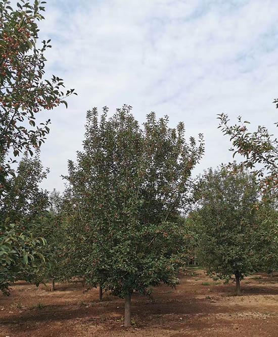 青海亚当海棠苗圃直销 济宁市任城区禾盛苗木种植供应