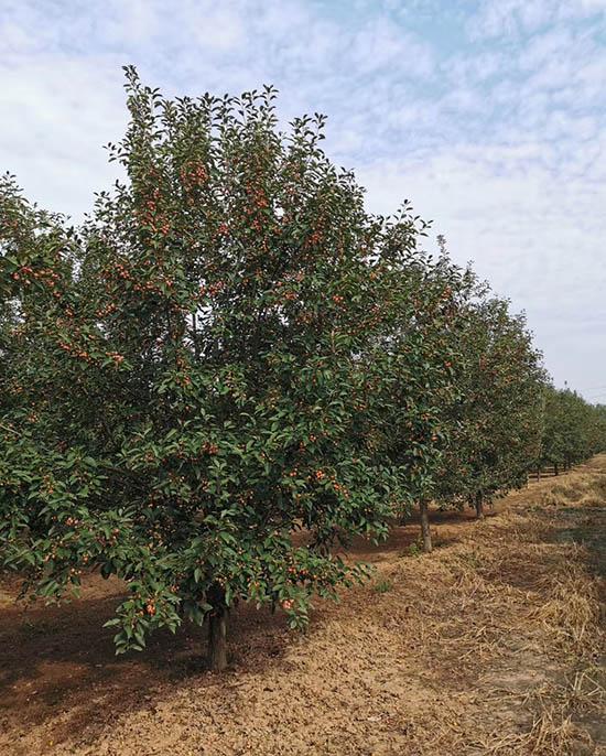 海南7公分亚当海棠 济宁市任城区禾盛苗木种植供应