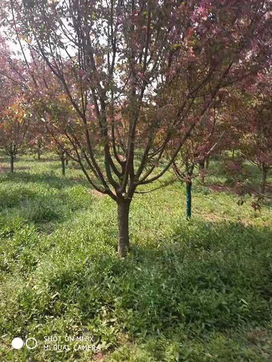 山东绚丽海棠推荐商家 济宁市任城区禾盛苗木种植供应