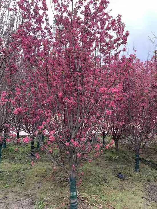 重庆18公分绚丽海棠 济宁市任城区禾盛苗木种植供应