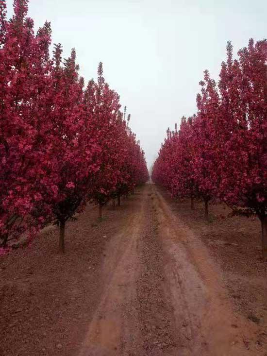 云南15公分绚丽海棠 济宁市任城区禾盛苗木种植供应