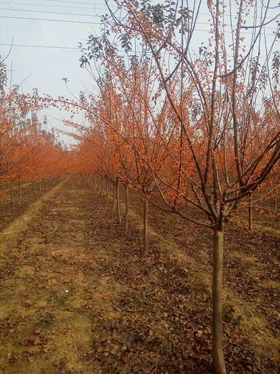 四川印第安魔力海棠苗木 济宁市任城区禾盛苗木种植供应