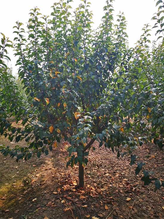 重庆5-8公分印第安魔力海棠 济宁市任城区禾盛苗木种植供应