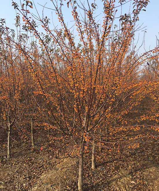 安徽3-12公分印第安魔力海棠 濟寧市任城區禾盛苗木種植供應